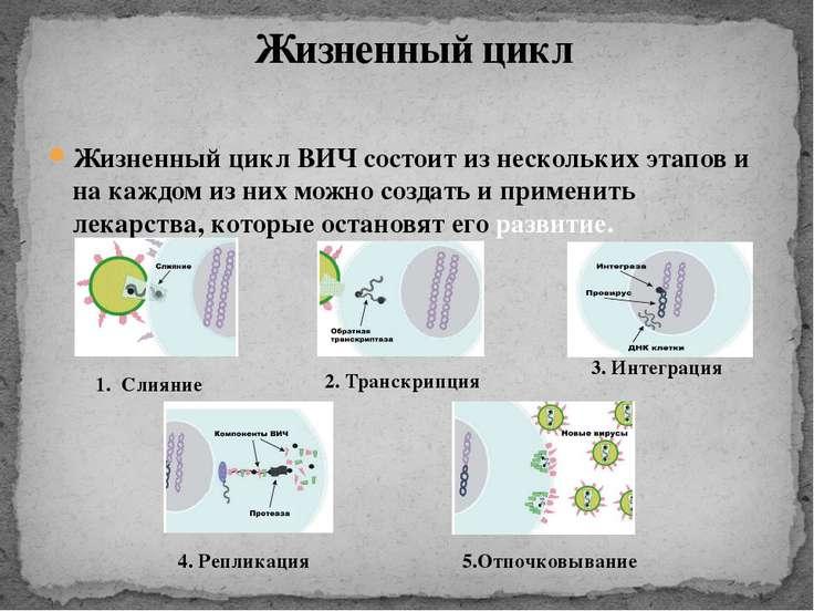 Жизненный цикл ВИЧ состоит из нескольких этапов и на каждом из них можно созд...