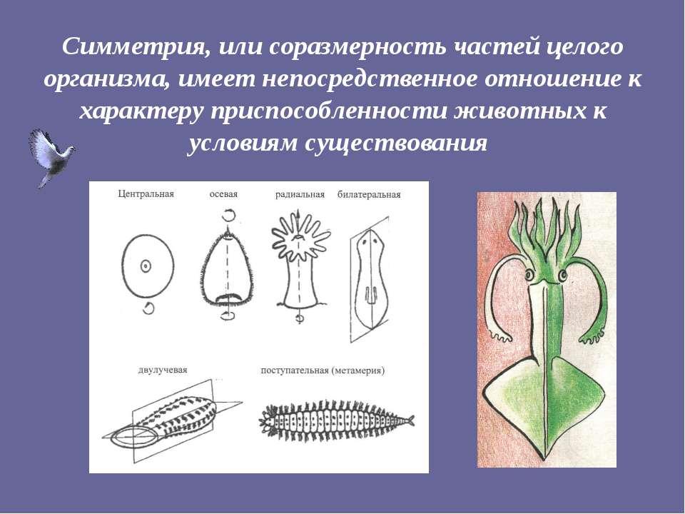 Симметрия, или соразмерность частей целого организма, имеет непосредственное ...