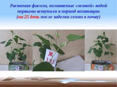 Растения фасоли, поливаемые «живой» водой первыми вступили в период вегитации...