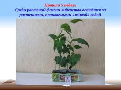 Прошло 5 недель Среди растений фасоли лидерство остаётся за растениями, полив...