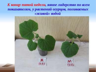 К концу пятой недели, явное лидерство по всем показателям, у растений огурцов...