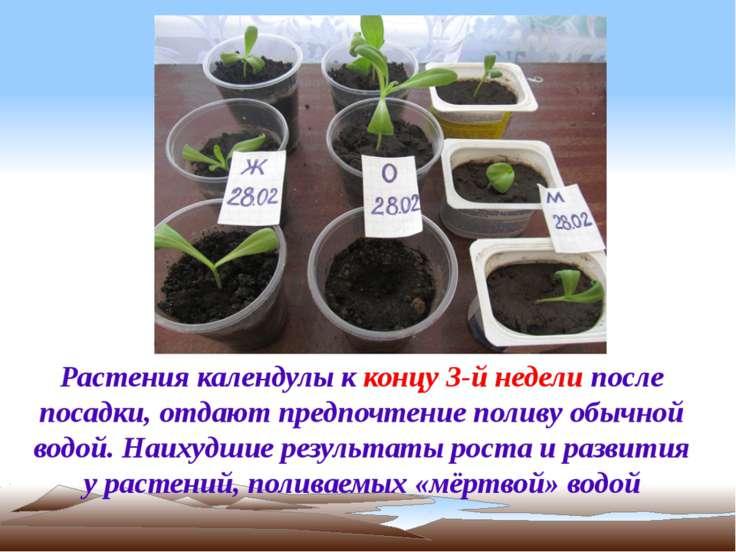 Растения календулы к концу 3-й недели после посадки, отдают предпочтение поли...