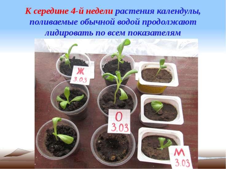 К середине 4-й недели растения календулы, поливаемые обычной водой продолжают...