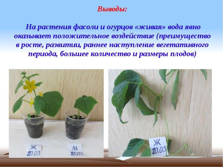 Выводы: На растения фасоли и огурцов «живая» вода явно оказывает положительно...