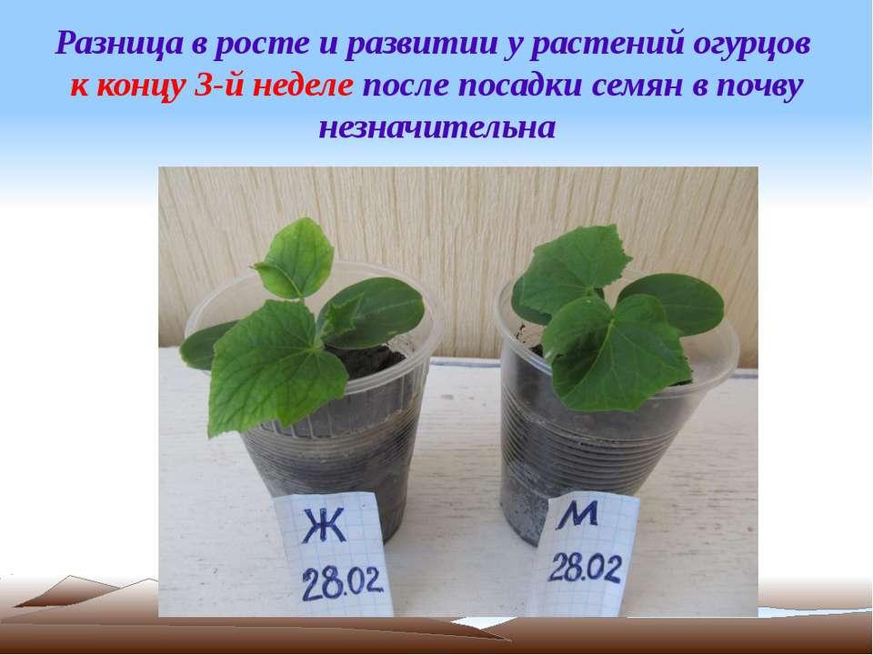 Разница в росте и развитии у растений огурцов к концу 3-й неделе после посадк...