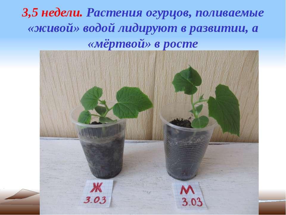 3,5 недели. Растения огурцов, поливаемые «живой» водой лидируют в развитии, а...