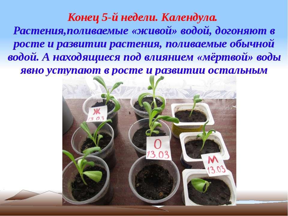 Конец 5-й недели. Календула. Растения,поливаемые «живой» водой, догоняют в ро...