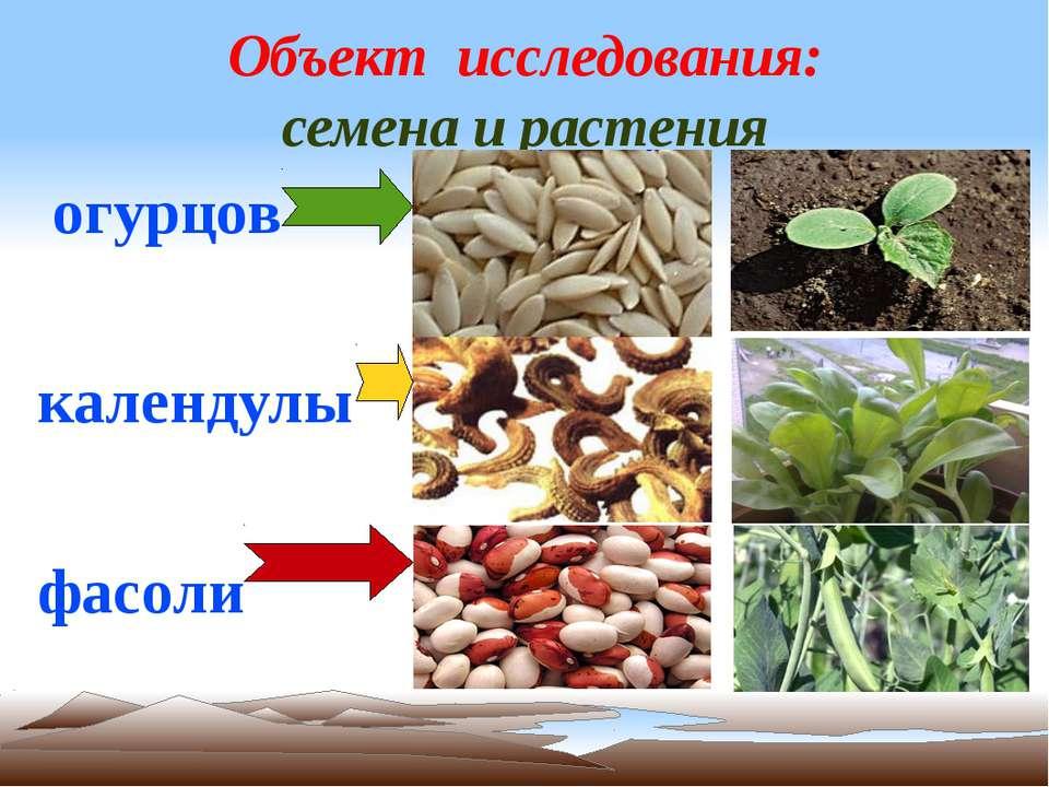 Объект исследования: семена и растения огурцов календулы фасоли
