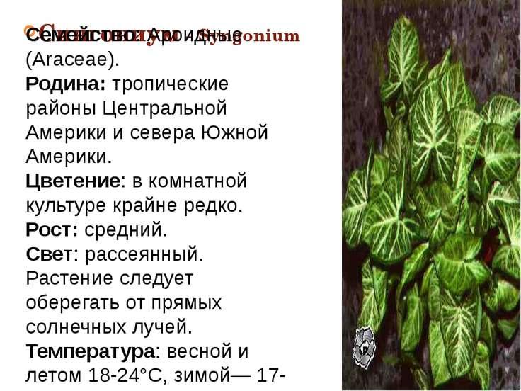 Сингониум – Syngonium Семейство: Ароидные (Araceae). Родина: тропические райо...