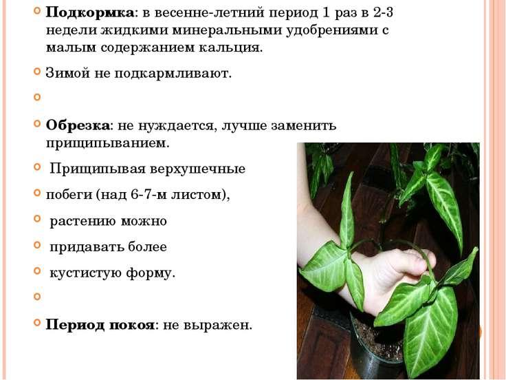 Подкормка: в весенне-летний период 1 раз в 2-3 недели жидкими минеральными уд...