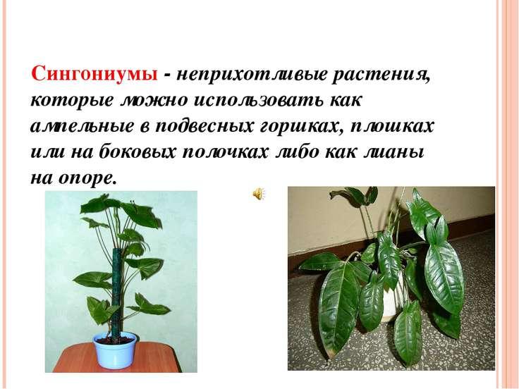 Сингониумы - неприхотливые растения, которые можно использовать как ампельные...