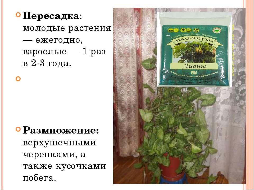 Пересадка: молодые растения — ежегодно, взрослые — 1 раз в 2-3 года.  Размно...