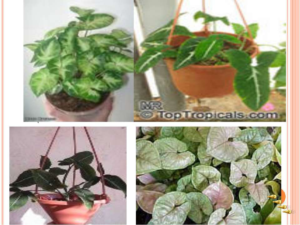 Выращивают сингониумы ради их красивых листьев, которые у многих видов формой...