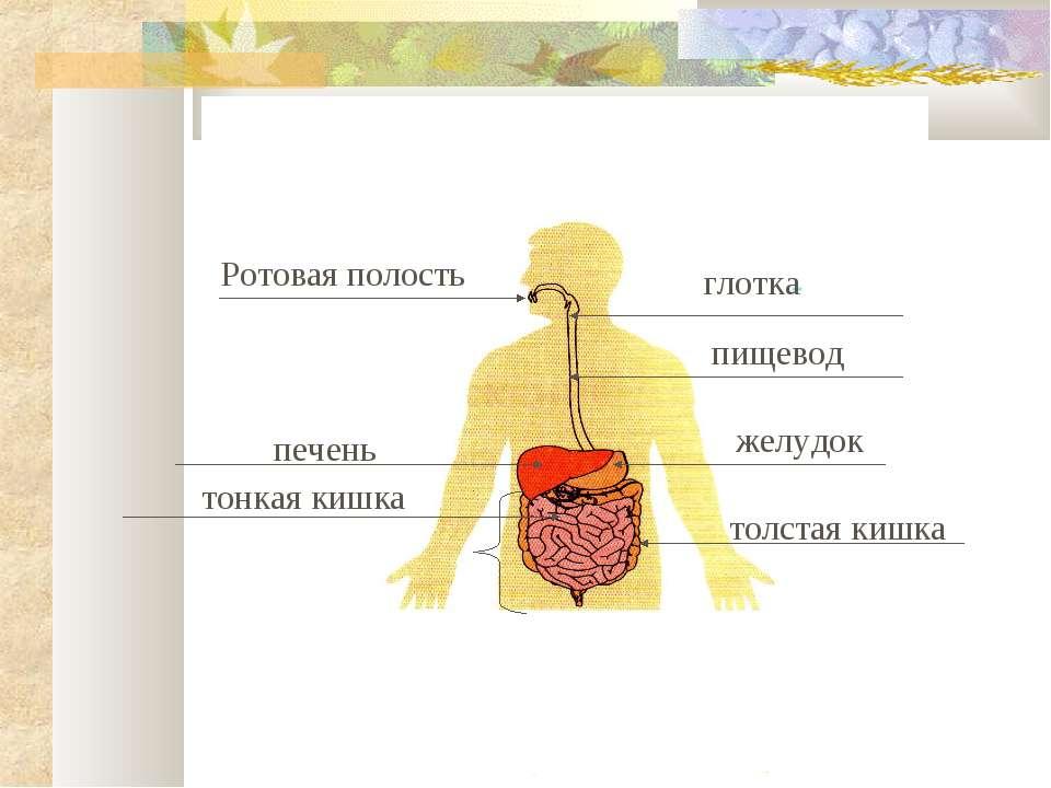 Ротовая полость глотка пищевод печень желудок толстая кишка тонкая кишка
