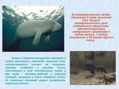 Всего у берегов Антаркиды обитает 5 видов настоящих тюленей: морской слон, вс...