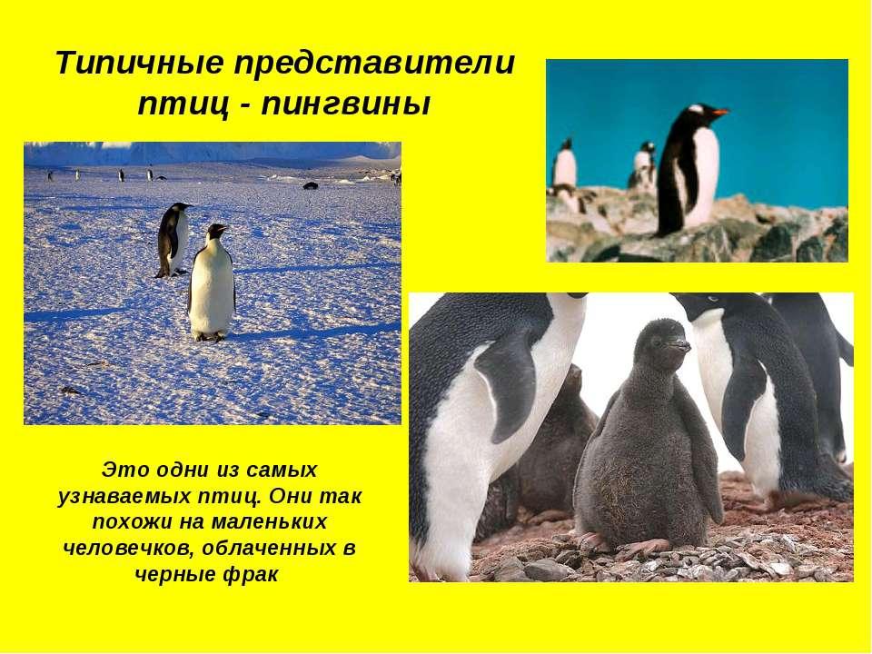 Типичные представители птиц - пингвины Это одни из самых узнаваемых птиц. Они...