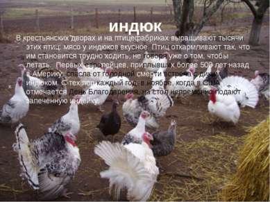 индюк В крестьянских дворах и на птицефабриках выращивают тысячи этих птиц: м...