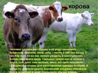 корова Человек одомашнил корову и её родственников – буйволов, бизонов, яков,...