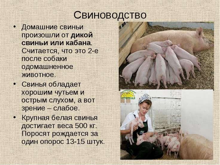 Свиноводство Домашние свиньи произошли от дикой свиньи или кабана. Считается,...