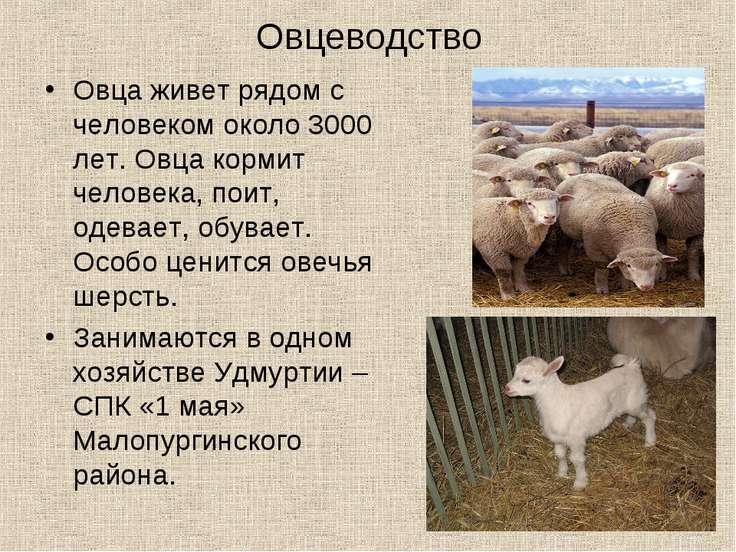 Овцеводство Овца живет рядом с человеком около 3000 лет. Овца кормит человека...