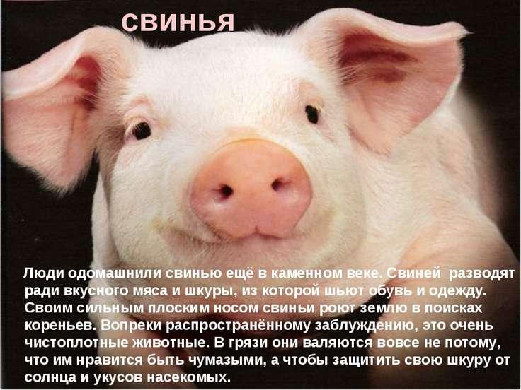 свинья Люди одомашнили свинью ещё в каменном веке. Свиней разводят ради вкусн...