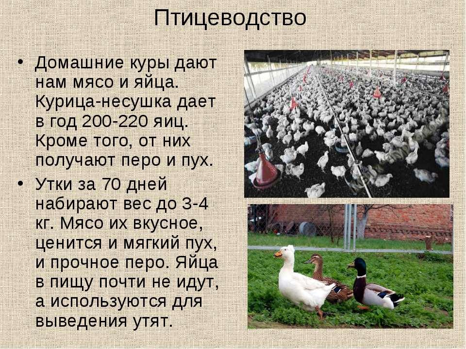 Птицеводство Домашние куры дают нам мясо и яйца. Курица-несушка дает в год 20...