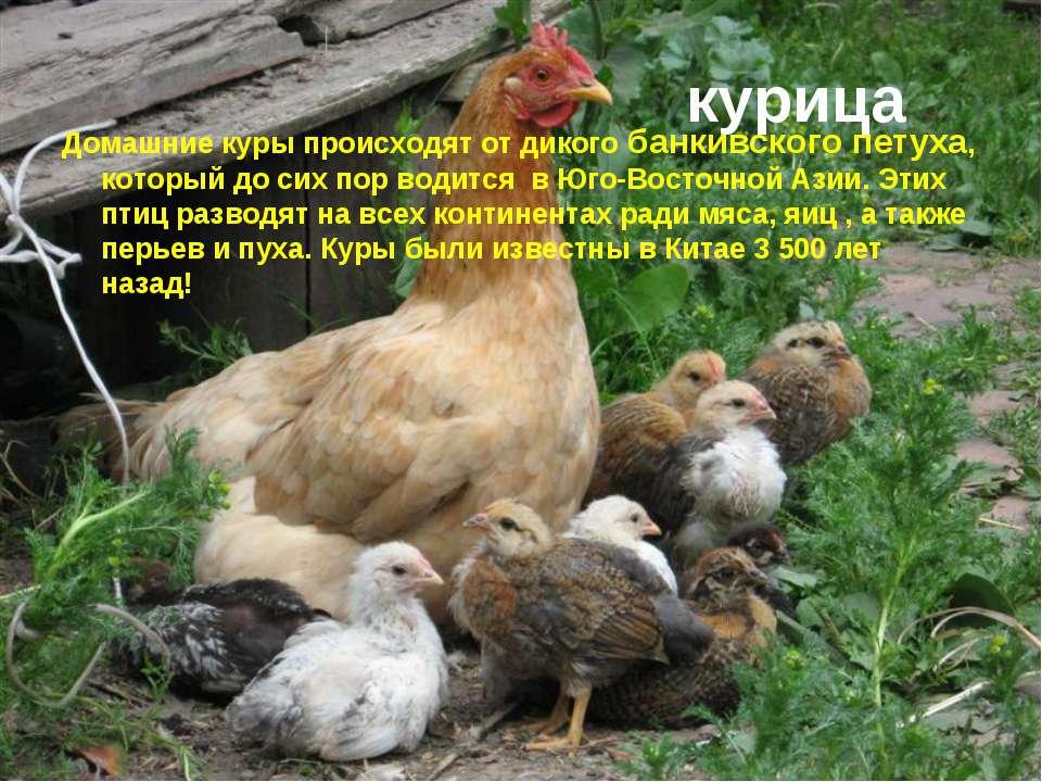 курица Домашние куры происходят от дикого банкивского петуха, который до сих ...