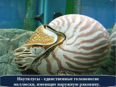 Наутилусы - единственные головоногие моллюски, имеющие наружную раковину.