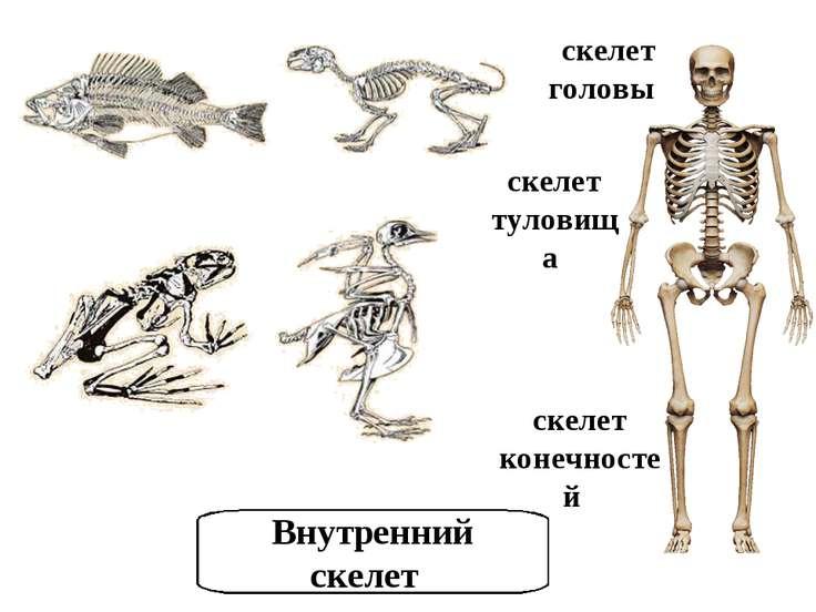 скелет головы скелет туловища скелет конечностей Внутренний скелет