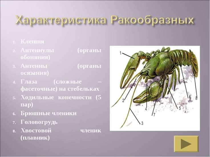 Клешня Антеннулы (органы обоняния) Антенны (органы осязания) Глаза (сложные –...
