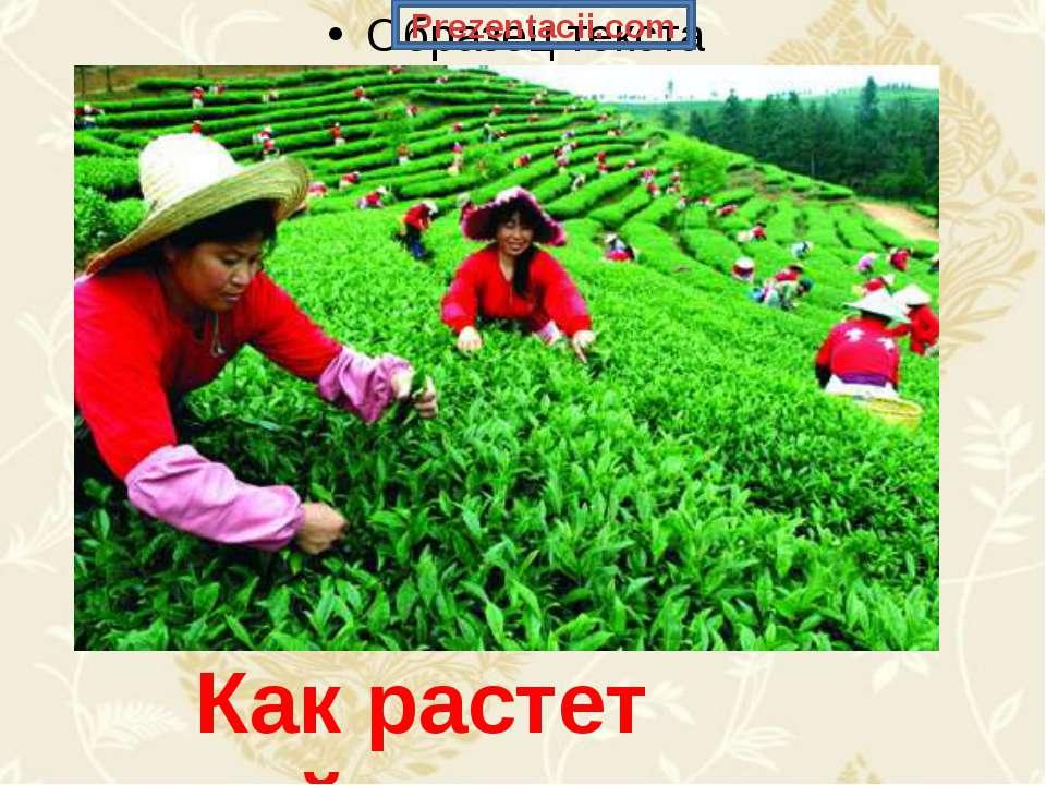 Как растет чай. Prezentacii.com