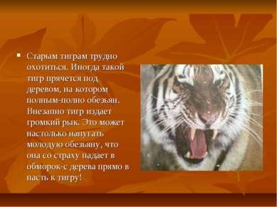 Старым тиграм трудно охотиться. Иногда такой тигр прячется под деревом, на ко...