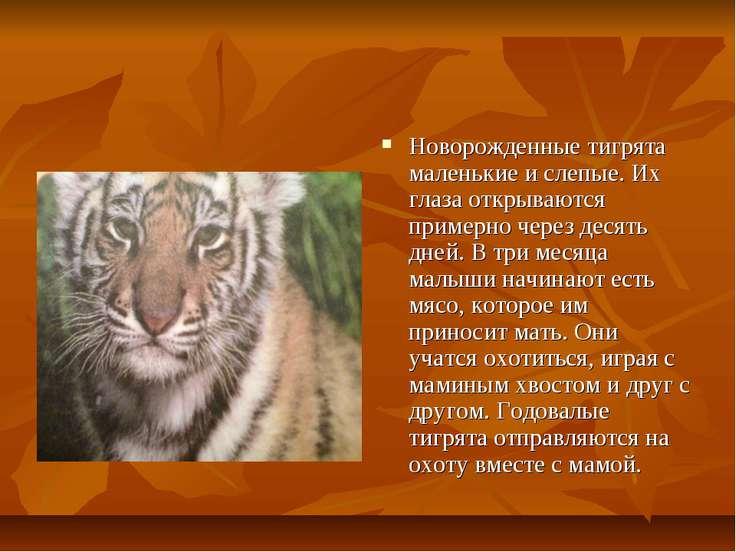 Новорожденные тигрята маленькие и слепые. Их глаза открываются примерно через...