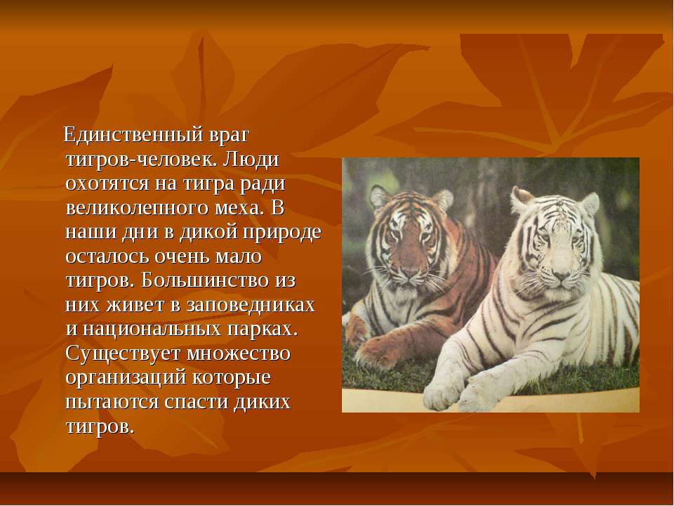 Единственный враг тигров-человек. Люди охотятся на тигра ради великолепного м...