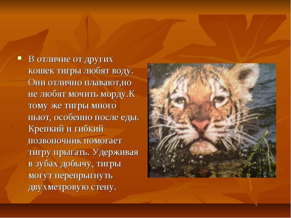 В отличие от других кошек тигры любят воду. Они отлично плавают,но не любят м...