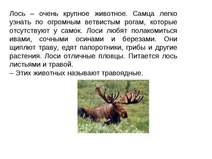 Лось – очень крупное животное. Самца легко узнать по огромным ветвистым рогам...
