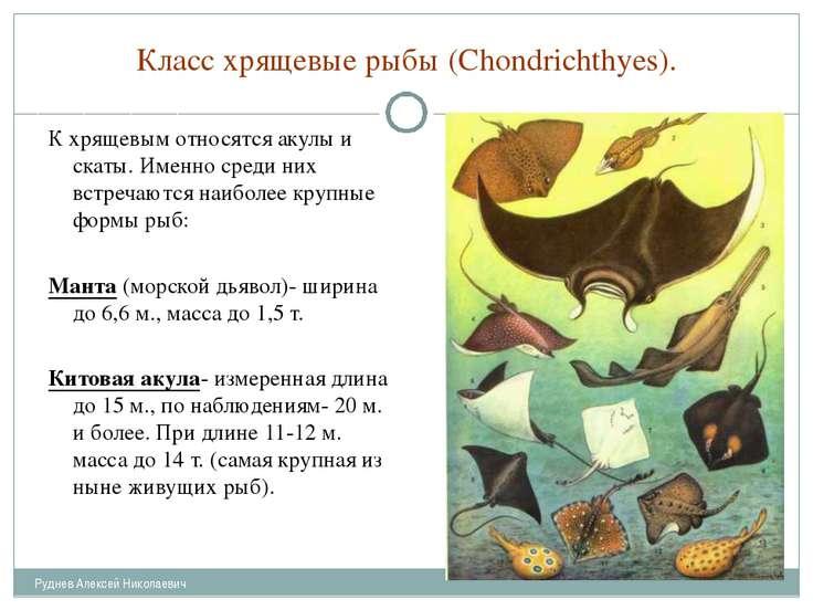 Класс хрящевые рыбы (Chondrichthyes). К хрящевым относятся акулы и скаты. Име...