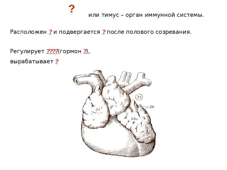 или тимус – орган иммунной системы. Расположен ? и подвергается ? после полов...