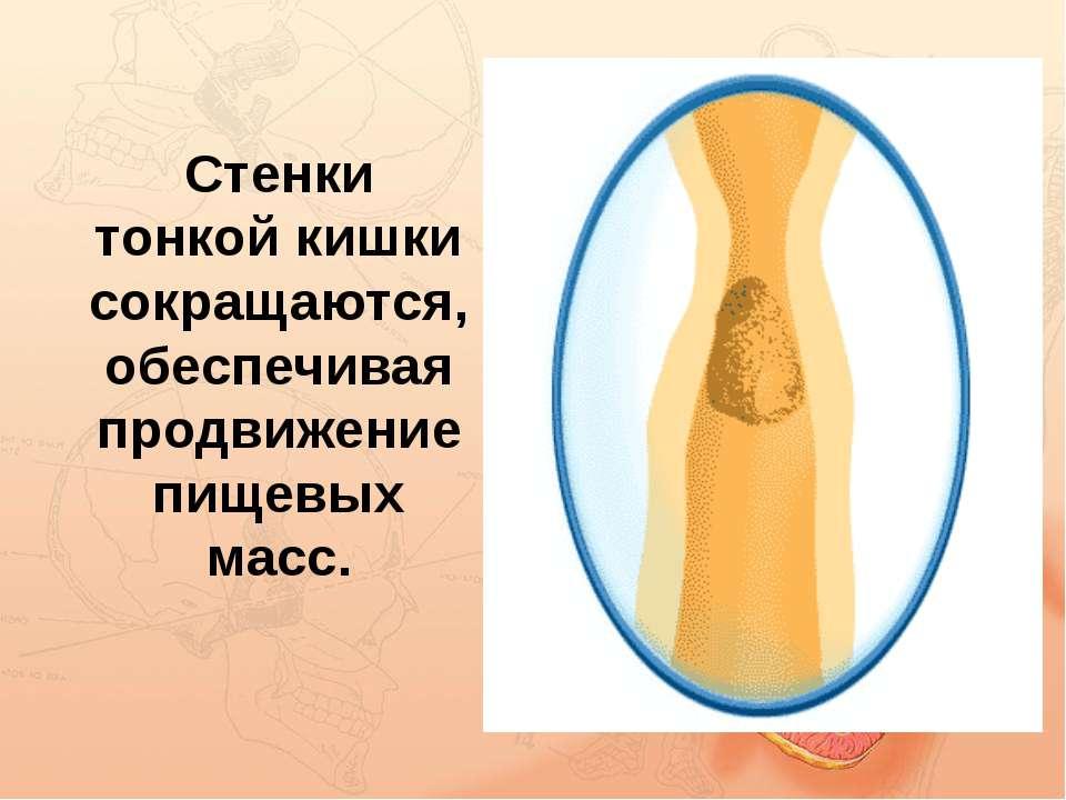 Стенки тонкой кишки сокращаются, обеспечивая продвижение пищевых масс.