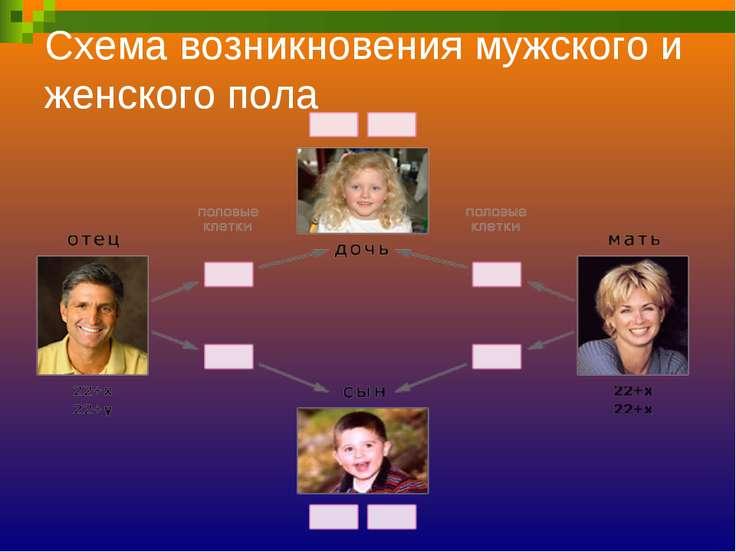 Схема возникновения мужского и женского пола