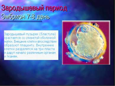 Зародышевый период Эмбрион 7-8 день