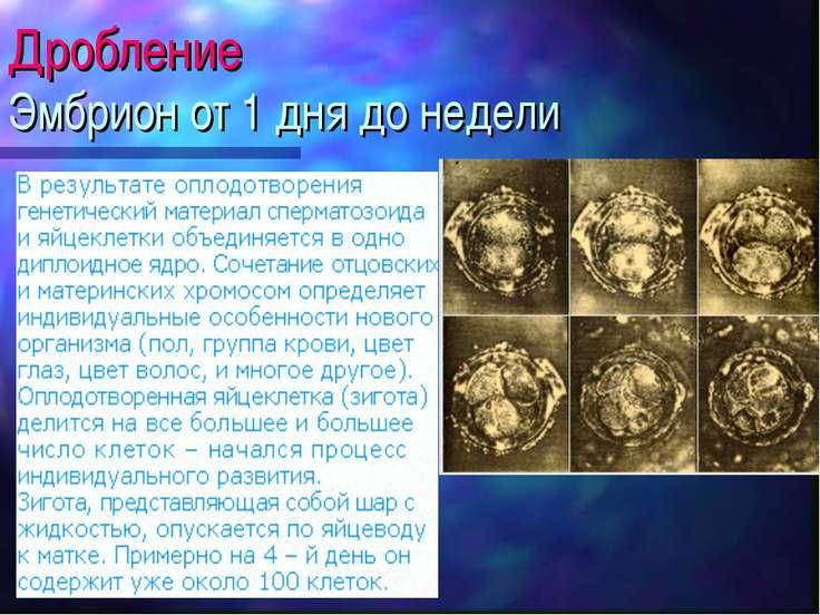 Дробление Эмбрион от 1 дня до недели