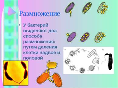 Размножение У бактерий выделяют два способа размножения: путем деления клетки...