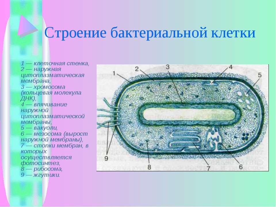 Строение бактериальной клетки 1 — клеточная стенка, 2 — наружная цитоплазмати...