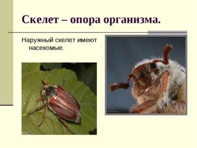 Скелет – опора организма. Наружный скелет имеют насекомые.