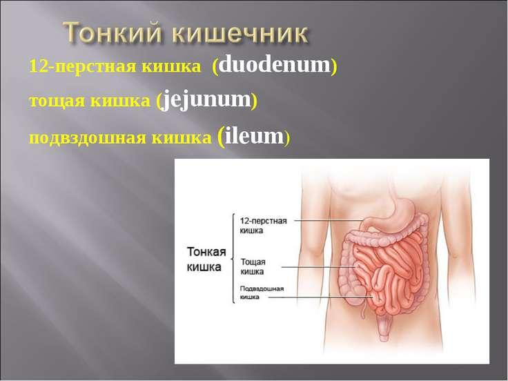 12-перстная кишка (duodenum) тощая кишка (jejunum) подвздошная кишка (ileum)