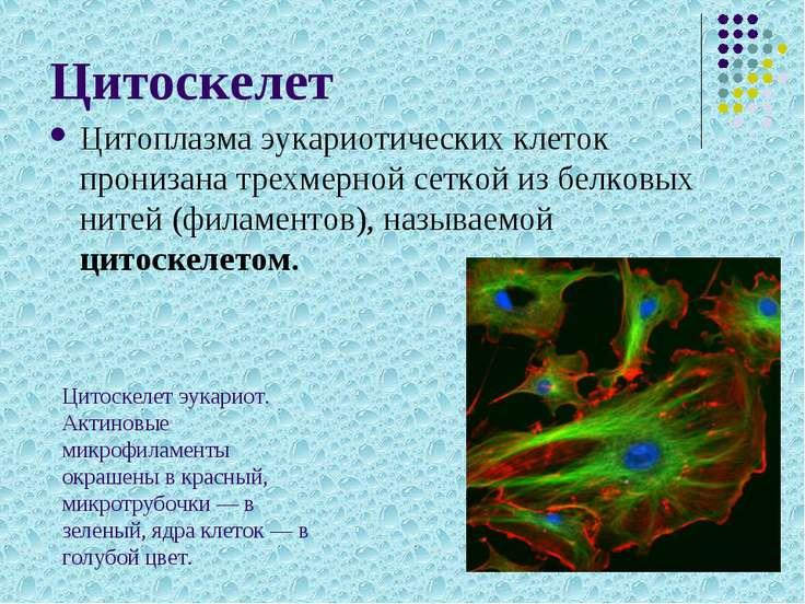 Цитоскелет Цитоплазма эукариотических клеток пронизана трехмерной сеткой из б...
