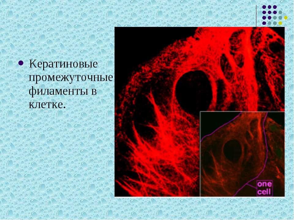 Кератиновые промежуточные филаменты в клетке.