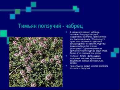 Тимьян ползучий - чабрец В народе его именуют чабрецом, чепчиком, бо городско...