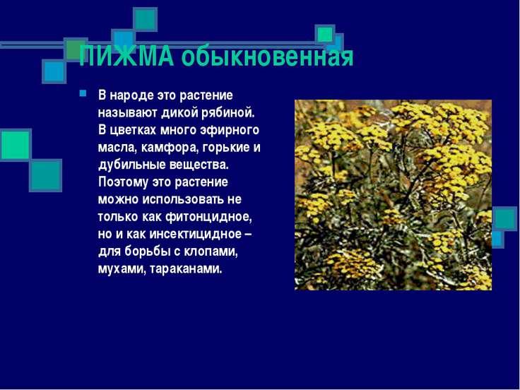 ПИЖМА обыкновенная В народе это растение называют дикой рябиной. В цветках мн...